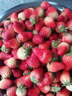 四川省自贡市富顺县奶油草莓  20克以上 中果