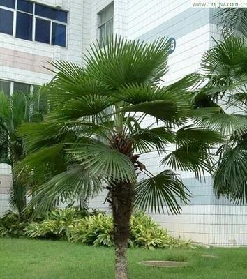 这是一张关于棕榈树 的产品图片