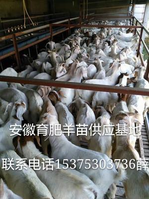 这是一张关于波尔山羊 30斤以下 的产品图片