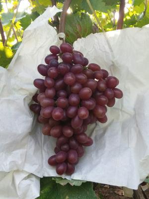 山东省青岛市莱西市克伦生葡萄 1-1.5斤 5%以下 1次果