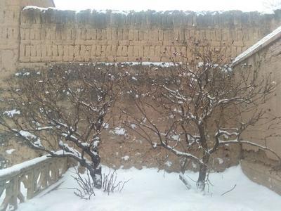 甘肃省平凉市静宁县观赏牡丹  1.5~2米 12~14cm 8~10cm 两棵五十多年的牡丹树