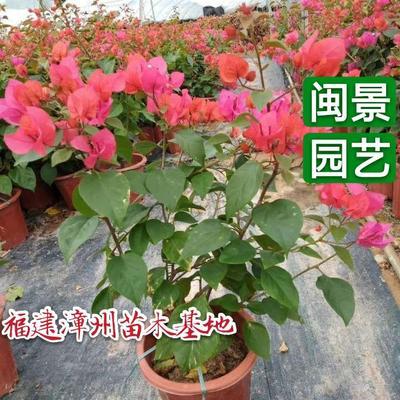 福建省漳州市漳浦县同安红三角梅 0.2~0.5米