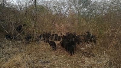 安徽省滁州市来安县黑山羊 50-80斤