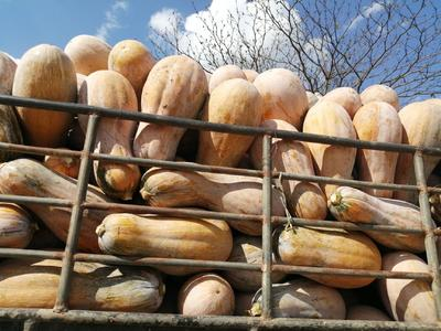 这是一张关于金韩蜜本南瓜 6~10斤 的产品图片