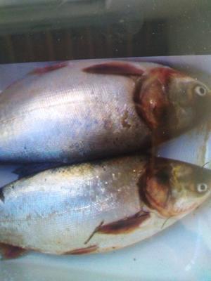 广东省珠海市金湾区白鲢鱼 野生 0.5-2.5公斤