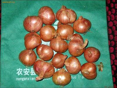 这是一张关于毛葱种子  99%以上 供应优质毛葱种子栽子的产品图片
