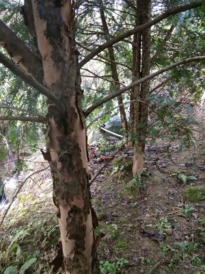 江西省赣州市崇义县南方红豆杉 2.5~3米