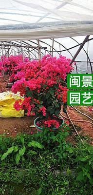 福建省漳州市漳浦县大红三角梅 0.5~1.0米