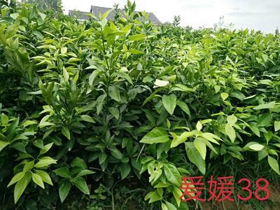 这是一张关于爱媛38号柑桔苗 嫁接苗 0.2~0.35米 的产品图片