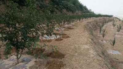 这是一张关于甘谷花椒 一级 干花椒 的产品图片