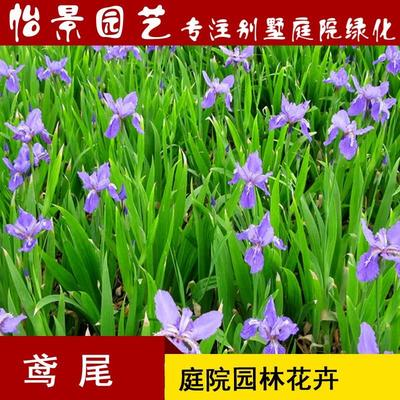 湖南省长沙市浏阳市紫花鸢尾
