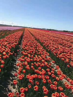 这是一张关于郁金香种子 的产品图片