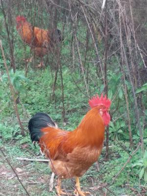 这是一张关于大红公鸡 4-5斤 公 的产品图片