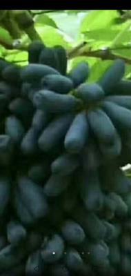 这是一张关于蓝宝石葡萄苗 的产品图片