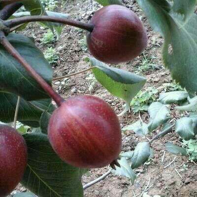 这是一张关于奥红一号红梨苗 2.0~2.5米 的产品图片