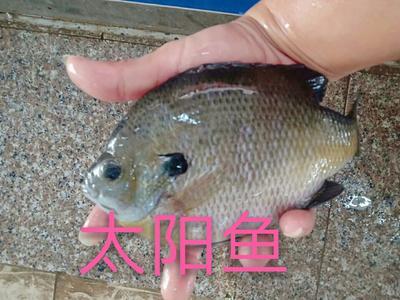 这是一张关于金边太阳鱼 的产品图片
