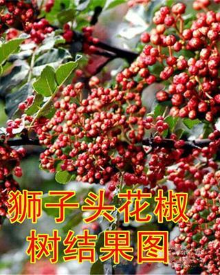 山西省运城市绛县大红袍花椒苗