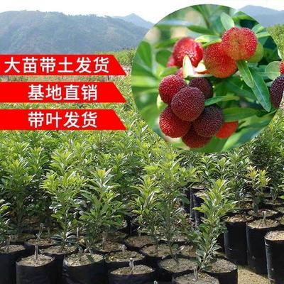 这是一张关于荸荠杨梅种苗 的产品图片