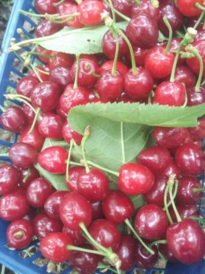 贵州省毕节市七星关区玛瑙红樱桃 30mm以上 5g以下