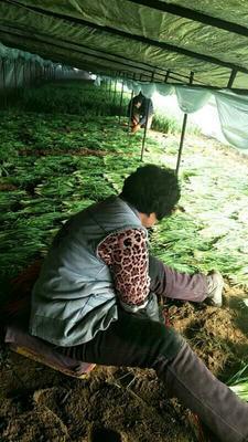 河北省张家口市万全县大叶韭菜 二茬 40~45cm