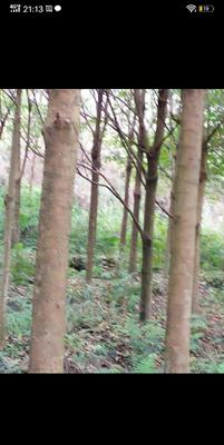 广西壮族自治区柳州市柳江县桂花树