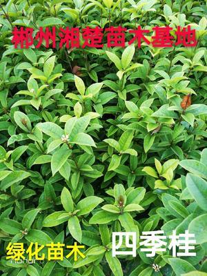 湖南省郴州市苏仙区桂花树