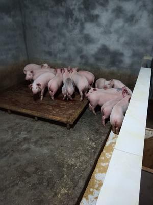 这是一张关于三元仔猪 的产品图片