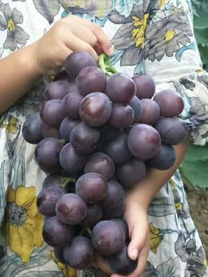 这是一张关于克伦生葡萄苗 的产品图片