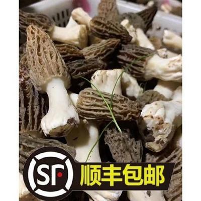 云南省昆明市官渡区羊肚菌 鲜货 3cm~6cm 尖顶 灰黑色 人工种植