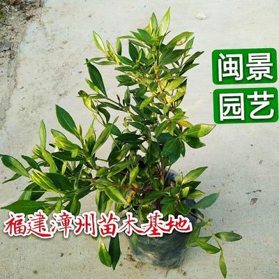 福建省漳州市漳浦县小叶栀子