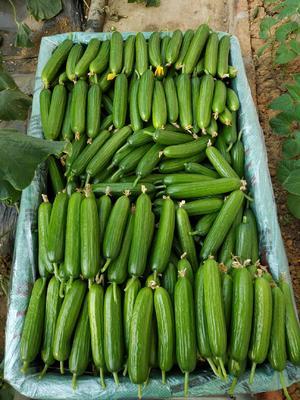 山东省青岛市平度市荷兰小黄瓜 混装通货