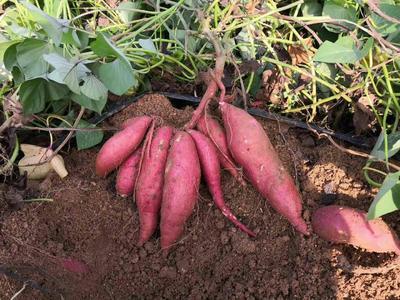 山东省烟台市招远市烟薯25号红薯苗 25~35cm