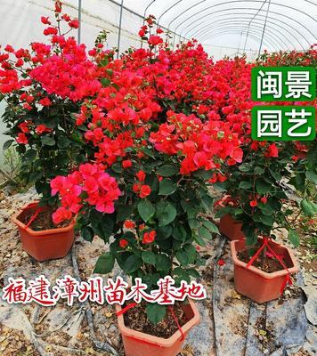 福建省漳州市漳浦县橙红三角梅 1.0~1.5米
