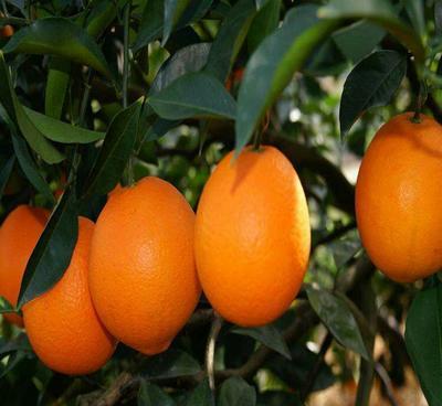 这是一张关于埃及糖橙苗 嫁接苗 0.5~1米 的产品图片