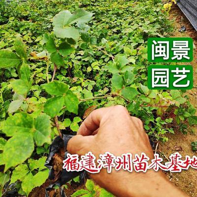 福建省漳州市漳浦县爬山虎  1公分以下 1米以下 福建漳州