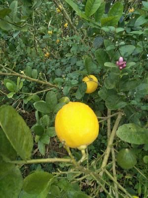 这是一张关于香水柠檬 2 - 2.6两 的产品图片