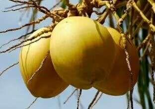 海南省海南省文昌市椰皇 1.5 - 2斤