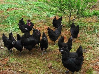 重庆长寿区黑凤鸡 3-4斤