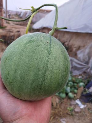 山东省聊城市莘县绿宝甜瓜 0.5斤以上