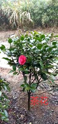 湖南省郴州市苏仙区山茶花 50~80cm