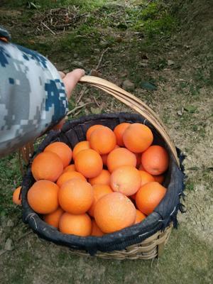这是一张关于圆红脐橙 65mm 4-8两 的产品图片