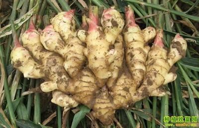 这是一张关于面姜 4~6两 带土 的产品图片