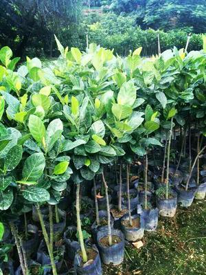 广西壮族自治区钦州市灵山县马来西亚一号菠萝蜜苗