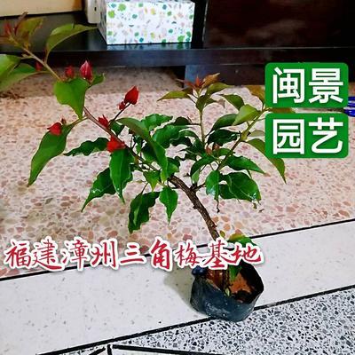 福建省漳州市龙海市热火桑巴三角梅 0.2~0.5米