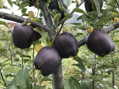 这是一张关于黑钻苹果树苗 1~1.5米 的产品图片