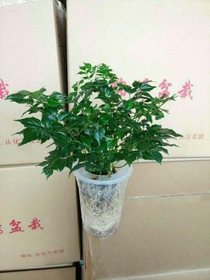 云南省昆明市呈贡区幸福树盆栽