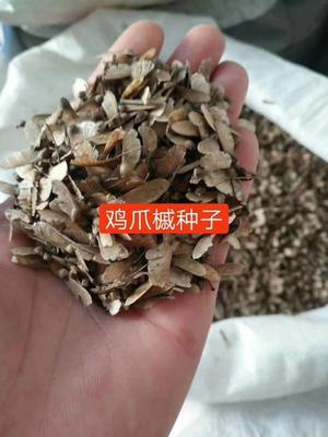 江西省九江市九江县细叶鸡爪槭  鸡爪槭种子
