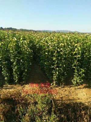 这是一张关于南水梨树苗 1~1.5米 的产品图片