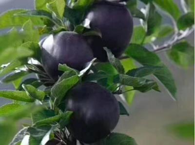 这是一张关于黑苹果树苗 1~1.5米 的产品图片