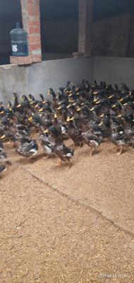 这是一张关于麻鸭 2-3斤 公 半圈养半散养 的产品图片